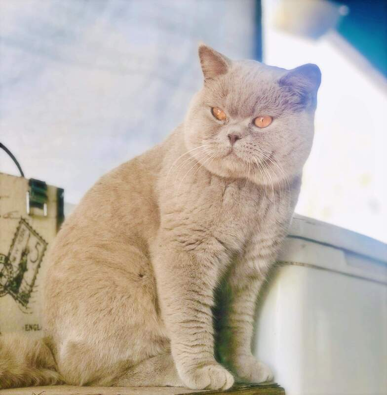 PurfectPawz: Quality British Shorthair Cats, Vic  - Home